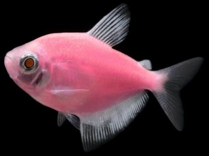 Тернеция Glofish Moonrise Pink
