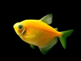 Тернеция Glofish Sunburst Orange