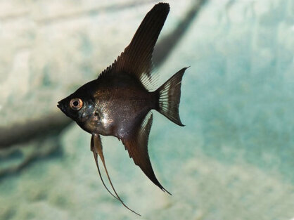 Freshwater angelfish black